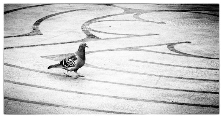 Bird Noir: Sacred Pigeon Geometry