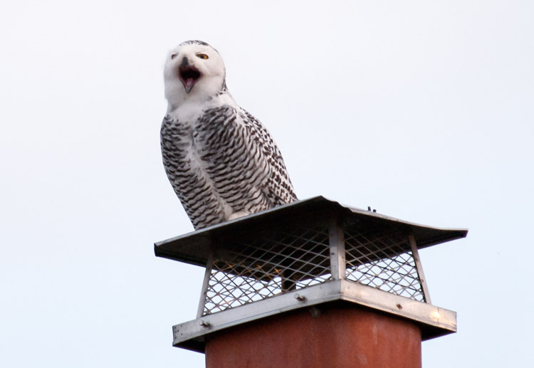 The Snowy Owls of Seattle