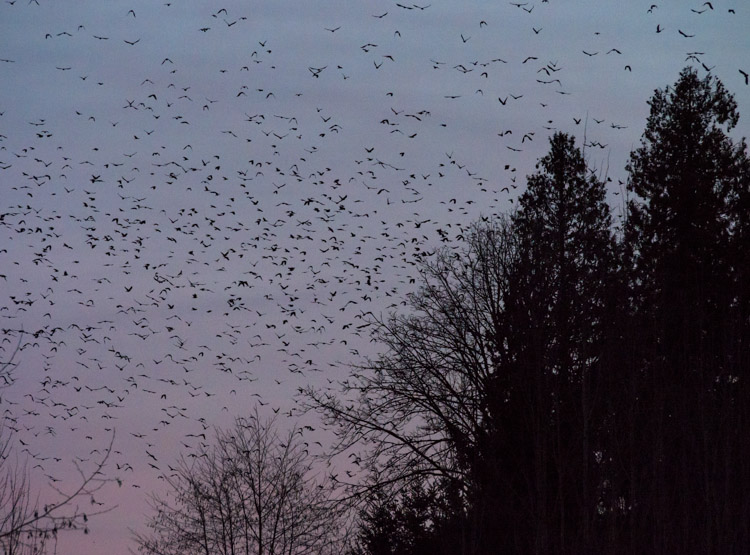 10,000 Crows and Counting