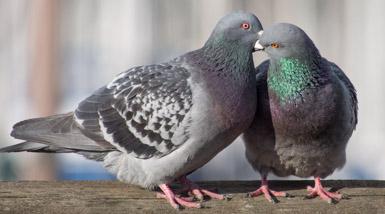 She's a Hum Dum Dinger Pigeon