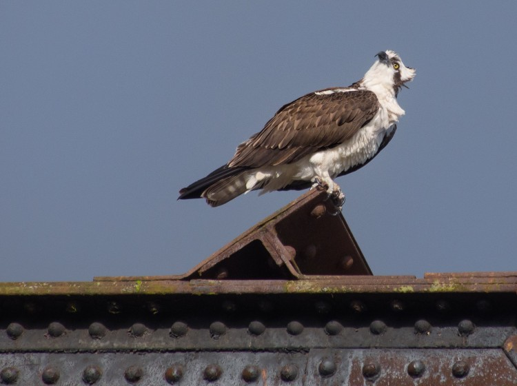Welcome Back, Osprey!