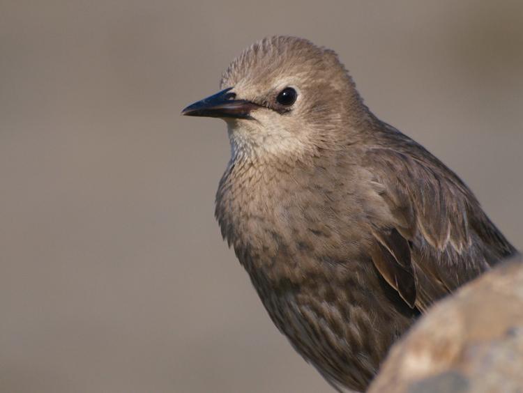 Juvenile Starling - ©ingridtaylar