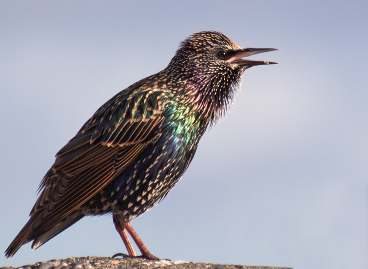 Clever, Corrugated Starlings