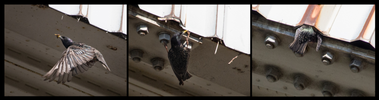 Starling feeding nestlings in corrugated building