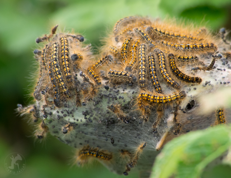The Magical Mystery Tour of Tent Caterpillars