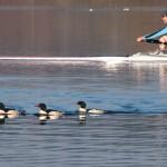 Common Mergansers Lake Washington