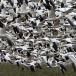 Snow Geese in Flight Fir Island