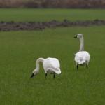 Trumpeter Swans Fir Island