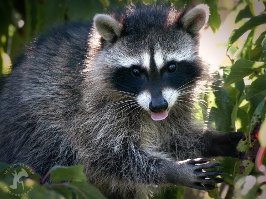 WB-Raccoon Family Tree 5