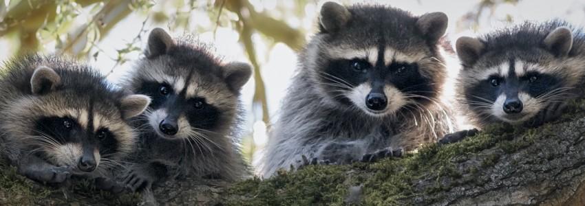 WB-Raccoon Family Tree